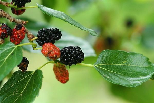 daun murbei untuk obat darah tinggi