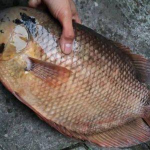 Kandungan Gizi Ikan Gurame Yang Luar Biasa
