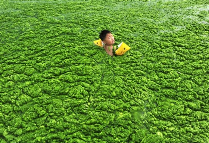 manfaat algae