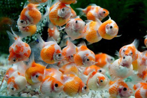 Bisnis Ikan Mas Koki