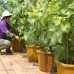 Tata Cara Menanam Anggur dalam Pot