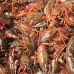 Cara Budidaya Lobster Air Tawar Agar Berhasil