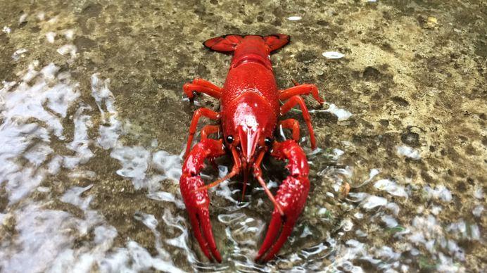 lobster air tawar merah